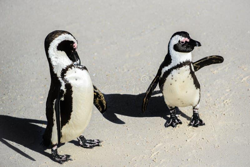 I pinguini africani ai massi tirano nella città del ` s di Simon, Sudafrica immagini stock libere da diritti