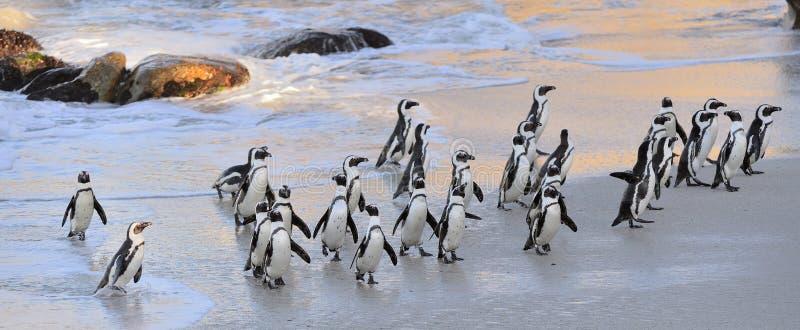 I pinguini africani camminano dall'oceano sulla spiaggia sabbiosa immagine stock