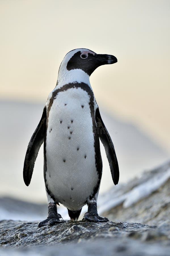 I pinguini africani sul masso nel tramonto accendono il cielo fotografia stock libera da diritti