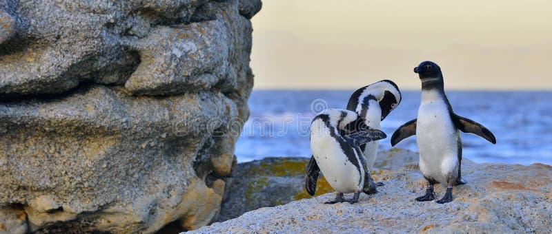 I pinguini africani sul masso nel tramonto accendono il cielo fotografia stock