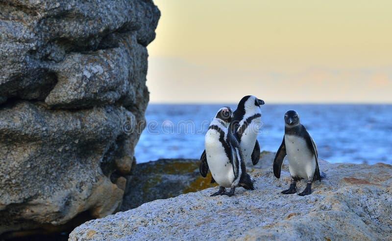 I pinguini africani sul masso nel tramonto accendono il cielo immagini stock