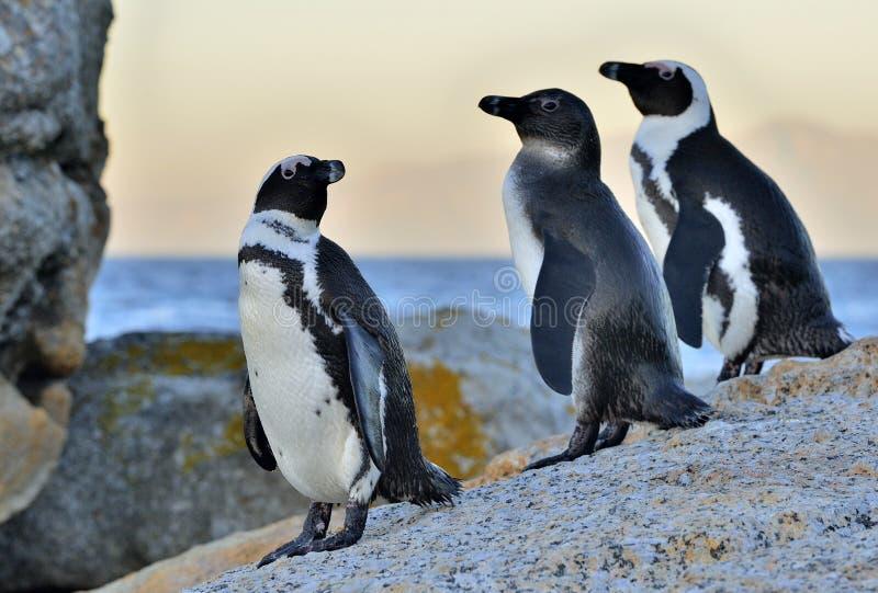 I pinguini africani sul masso nel tramonto accendono il cielo fotografie stock libere da diritti