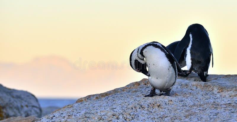 I pinguini africani sul masso nel tramonto accendono il cielo immagini stock libere da diritti
