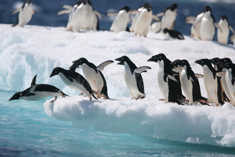 I pinguini di Adelie iniziano il salto nell'oceano fuori da un iceberg antartico fotografie stock