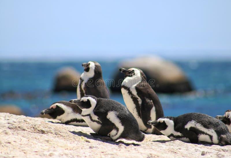 I pinguins africani ai massi tirano nella città di Simons fotografia stock