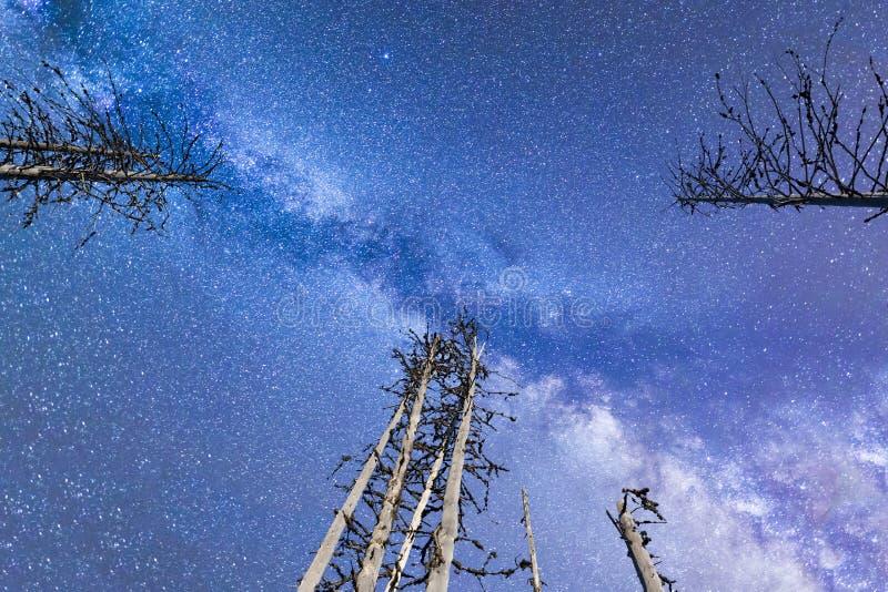 I pini blu delle stelle cadenti della Via Lattea si sono illuminati immagine stock libera da diritti