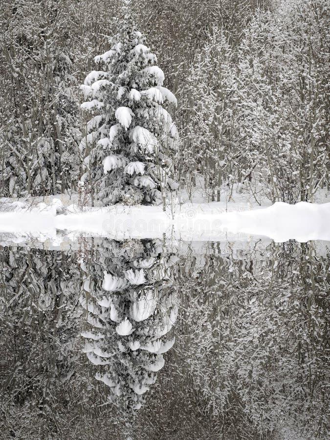 I pini Forest Winter Covered nella regione selvaggia fresca della neve riflettono il lago dello stagno della riflessione immagini stock