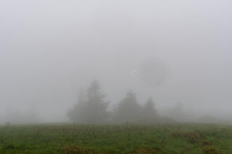 I pini si appostano nella nebbia fotografia stock