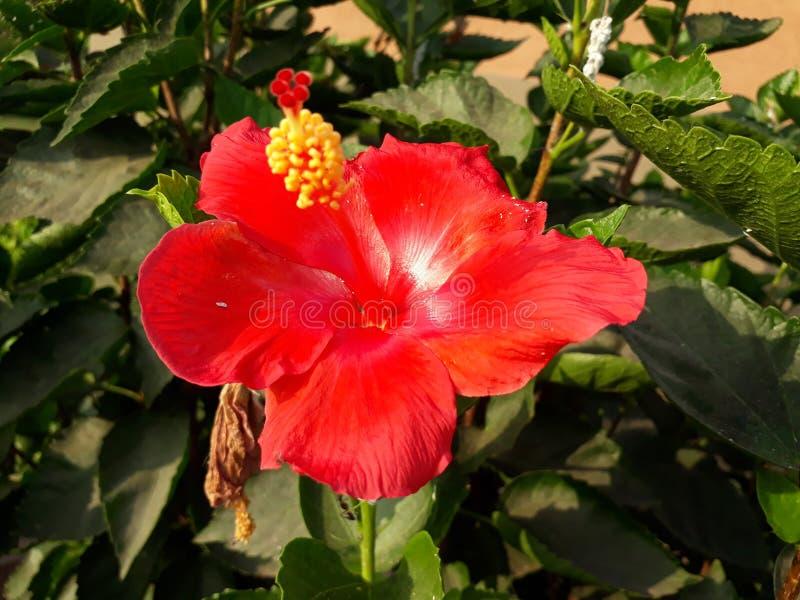 I platsen i solarna ray, innan du river sönder den härliga röda blomman royaltyfri bild