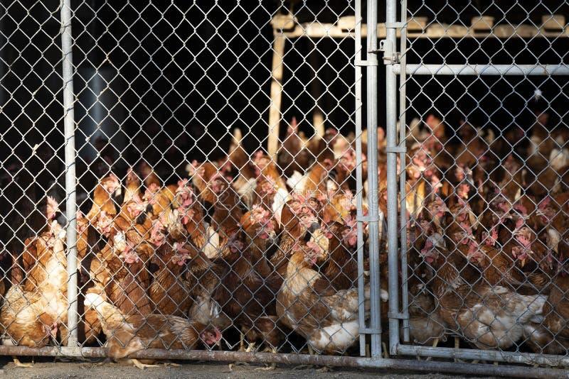 I polli chiusi a chiave in una catena hanno collegato la recinzione del recinto fotografia stock libera da diritti