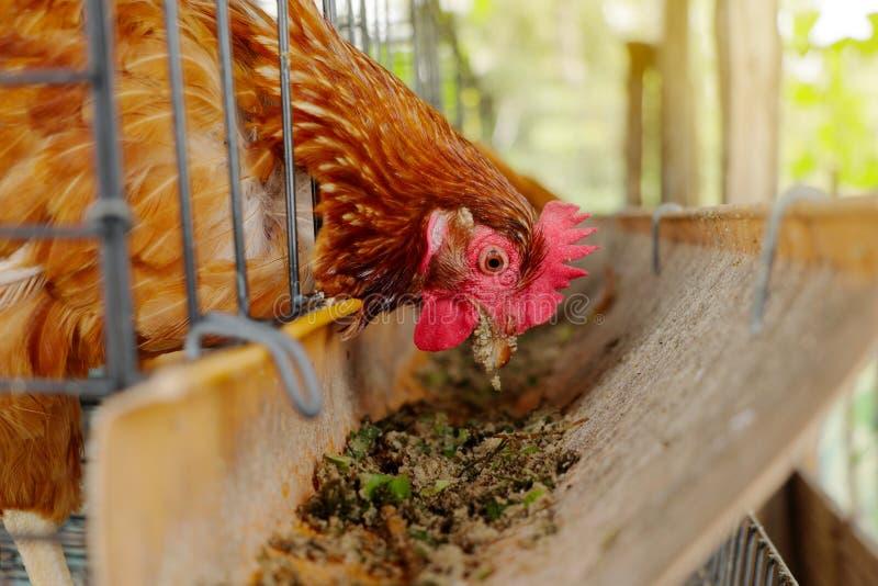 I polli in una gabbia beccano l'alimento da una depressione di alimentazione immagini stock libere da diritti