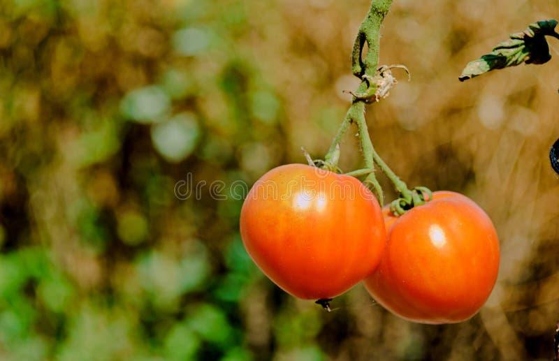 I pomodori rossi si sviluppano su un ramo fotografia stock