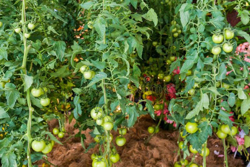 I pomodori verdi si sviluppano sui ramoscelli immagini stock libere da diritti