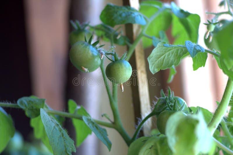 I pomodori verdi si sviluppano in un vaso sulla finestra fotografie stock