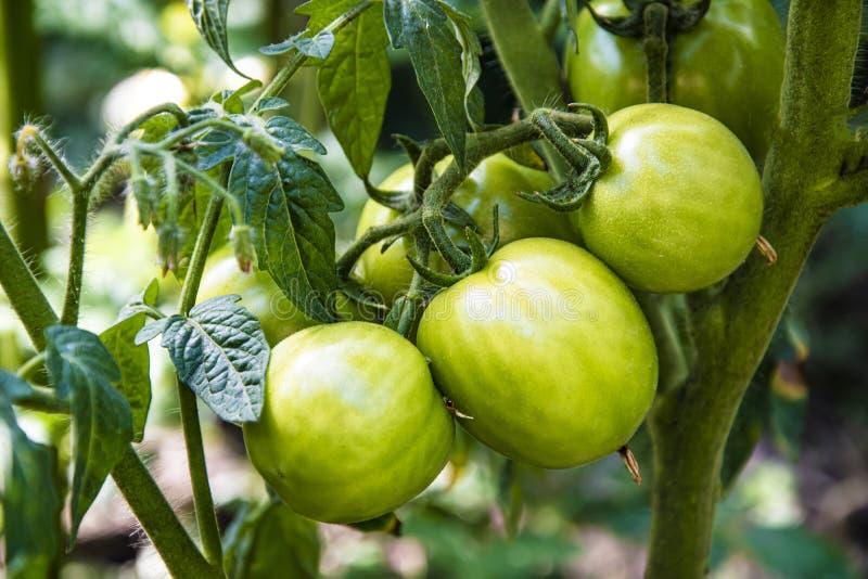 i pomodori verdi su un cespuglio svilupparsi nel giardino, si chiudono sulla foto fotografia stock libera da diritti