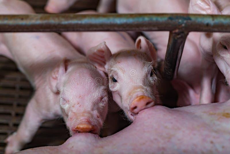 I porcellini neonati alimentati mungono dal maiale della madre, quindi sono caduto addormentato fotografia stock libera da diritti