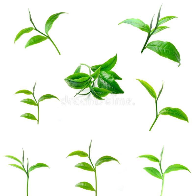 I precedenti di bianco delle foglie di tè fotografia stock