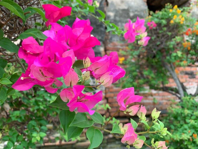 I precedenti rosa della buganvillea fotografia stock libera da diritti