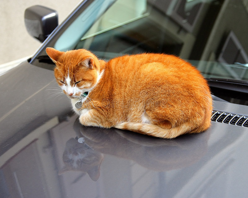 I prefer expensive cars. Lazy red cat on the hood stock images