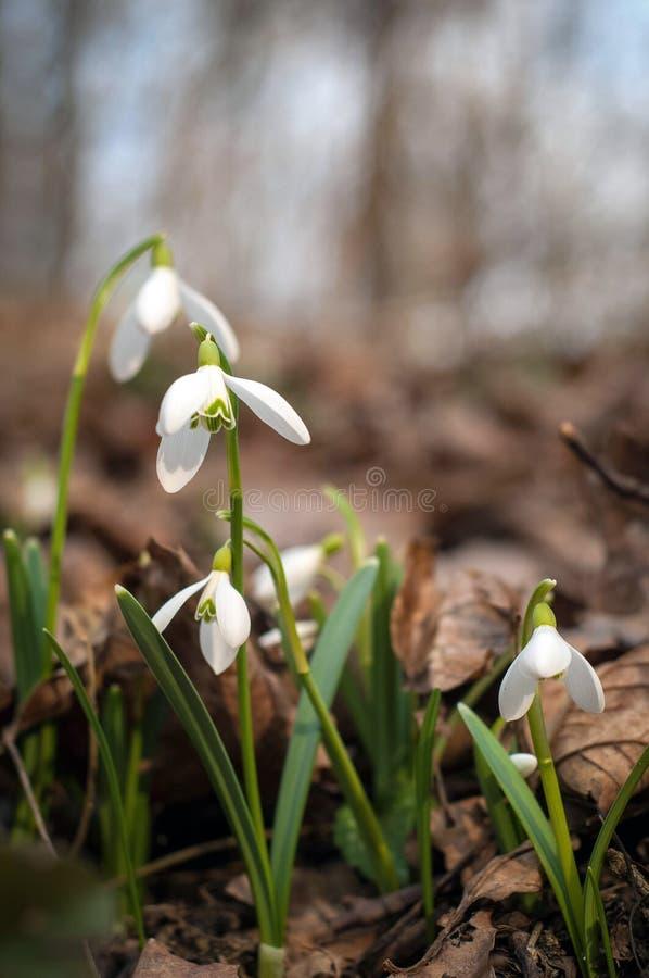 I presagi teneri di bucaneve dei fiori della molla di riscaldamento simbolizzano l'arrivo della molla fotografie stock libere da diritti