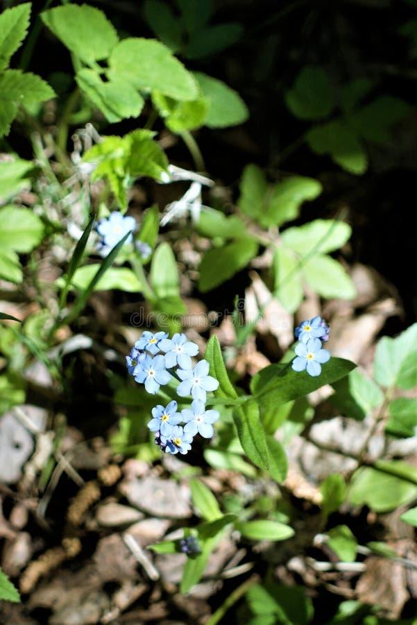 I primi fiori blu di nontiscordardime in molla in anticipo fotografie stock libere da diritti