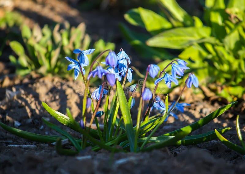 I primi fiori del blu di Scilla Squill piantano la fioritura in una foresta Scilla Bifolia fotografia stock libera da diritti