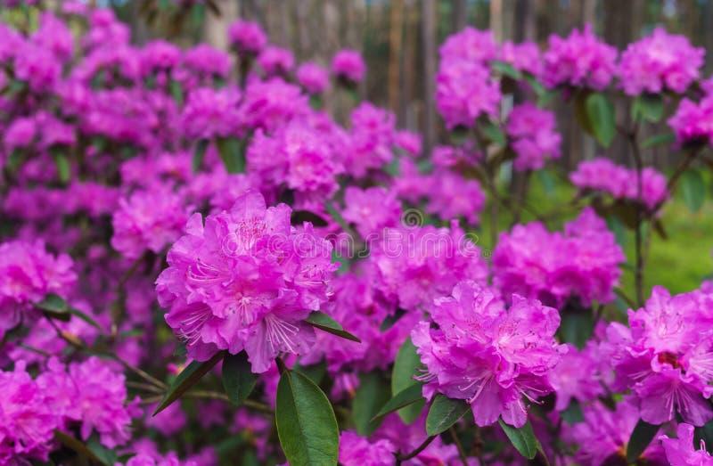 I primi fiori della molla dei rododendri lilla Sorgente in anticipo immagine stock libera da diritti