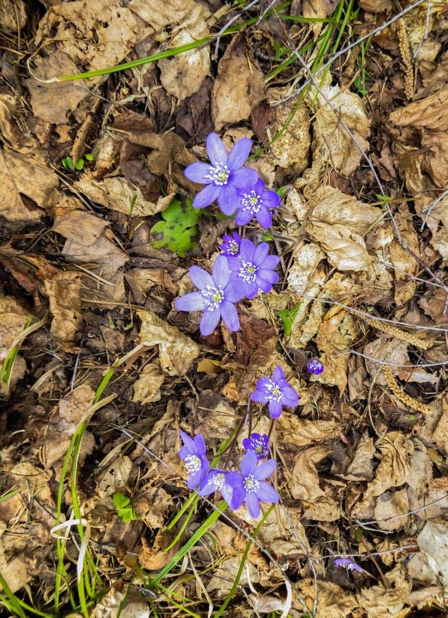 I primi fiori porpora del Hepatika fare il loro modo tramite le foglie dell'anno scorso nella foresta, in molla in anticipo fotografia stock