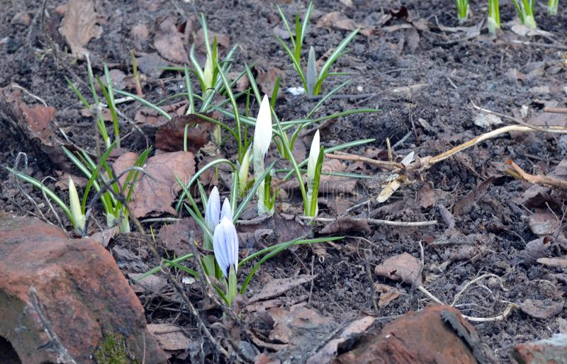 I primi germogli di fiore della molla fotografie stock