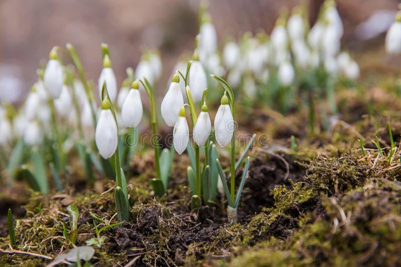 I primi snowdrops fotografia stock