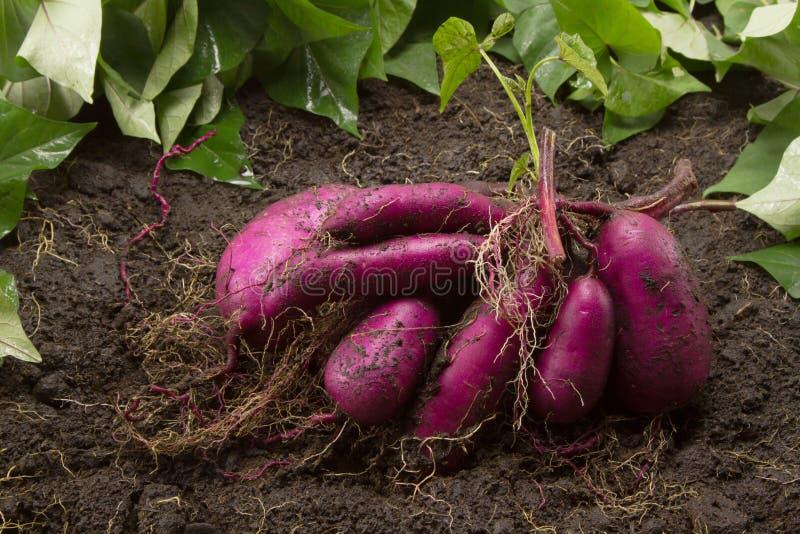 I prodotti freschi della patata dolce sulla sporcizia hanno raccolto dall'azienda agricola organica biologica immagini stock