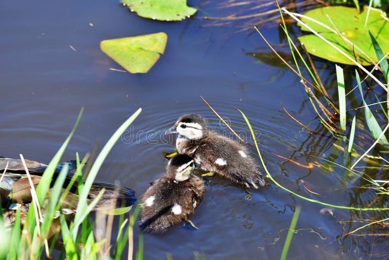 I pulcini dell'anatra di legno prendono una nuotata nel lago immagini stock