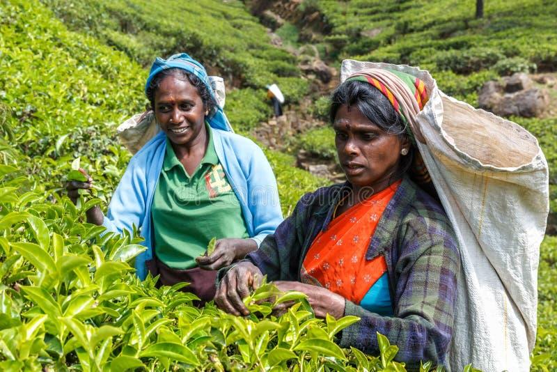 I raccoglitori del tè riuniscono le foglie sulle piantagioni della montagna immagine stock