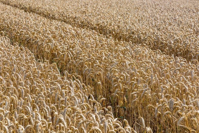 I raccolti del cereale fotografia stock libera da diritti