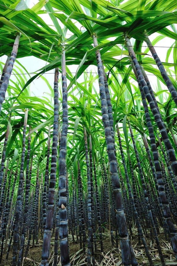 I raccolti della canna da zucchero fotografia stock libera da diritti