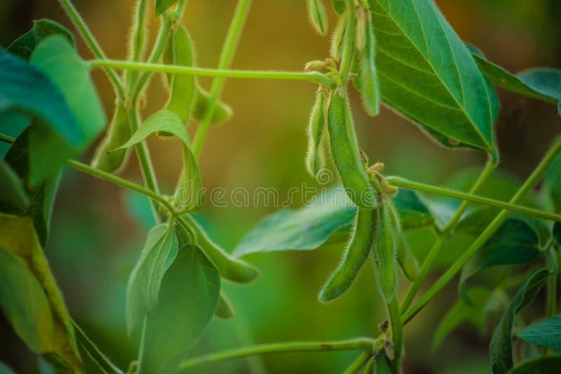 I raccolti della soia nel campo fotografia stock libera da diritti
