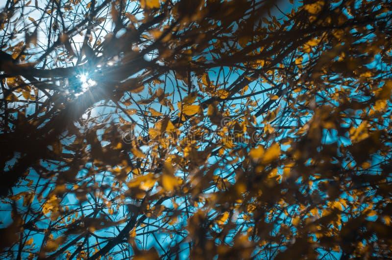 I raggi del sole splendono attraverso i rami di un albero con le foglie gialle di autunno raro Fuoco molle, fuoco selezionato, de immagine stock libera da diritti