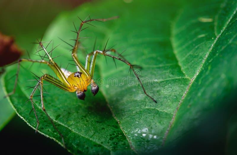 I ragni di salto hanno bello nero arancio sulle foglie verdi immagine stock libera da diritti