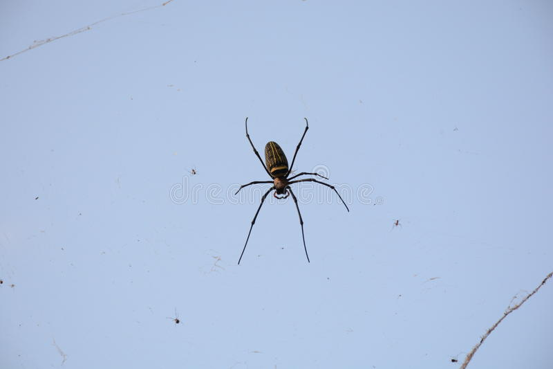 I ragni hanno sparso la trappola dell'esca fotografia stock