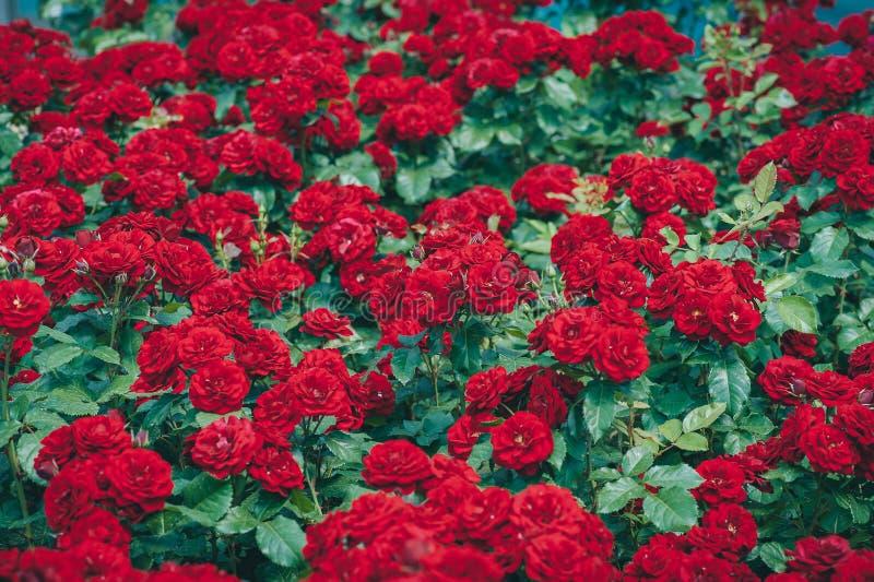 I rami del cespuglio di rose hanno saturato rosso nel giardino di mattina dell'estate immagini stock libere da diritti