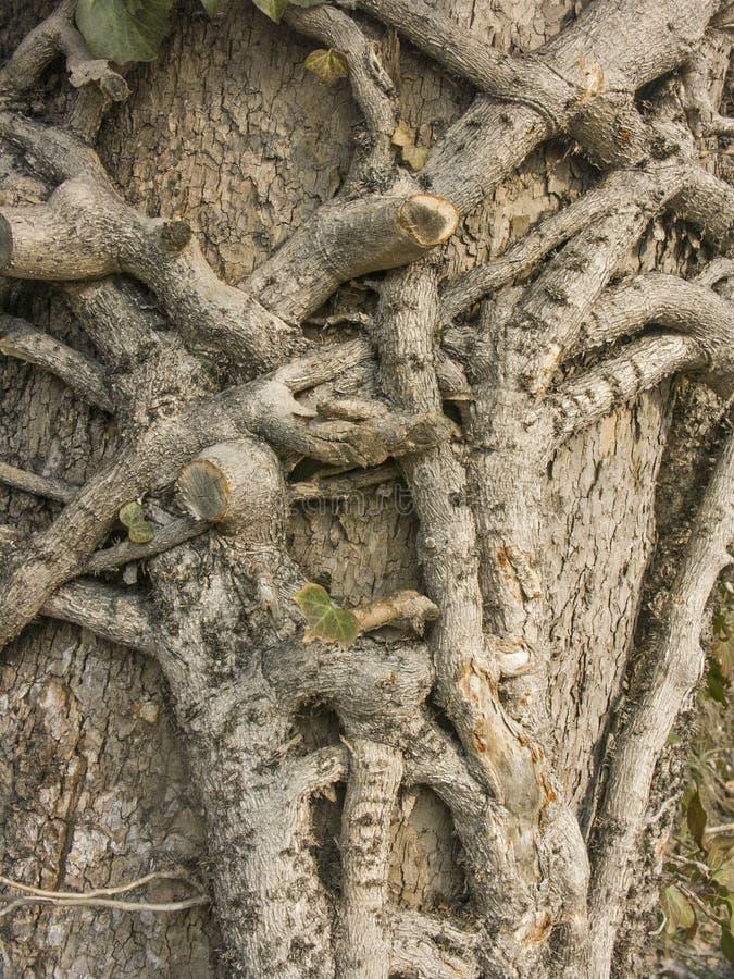 I rami dell'edera avvolgono una latifoglia immagine stock libera da diritti