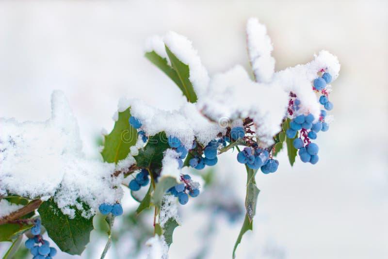 I rami dell'inverno fruttificano mahonia dell'arbusto sotto neve bianca fotografia stock