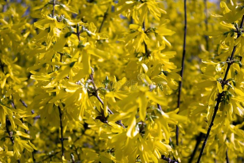 I rami della forsythia di fioritura Intermedia fotografia stock libera da diritti