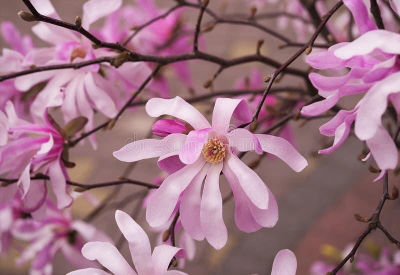 I rami di fioritura della magnolia, dentellano i fiori fotografia stock