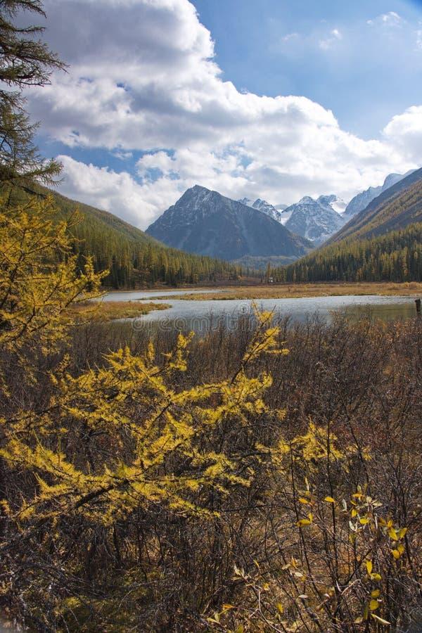 I rami di un larice giallo contro lo sfondo di una montagna abbelliscono fotografia stock