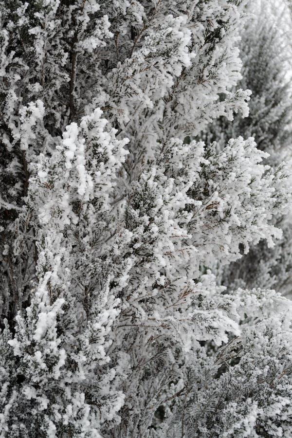 I rami innevati dell'inverno del cipresso soddisfa con la sua bellezza fotografia stock libera da diritti