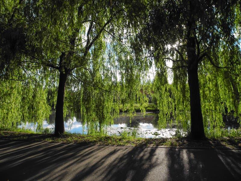 I rami lunghi del salice dell'albero appendono sopra lo stagno nel parco Albero di ombra di contrapposizione immagini stock libere da diritti
