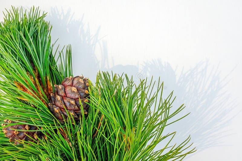 I rami sempreverdi naturali del cedro con i coni rasentano il fondo bianco Modello per la vostra progettazione, invito di vista s immagini stock