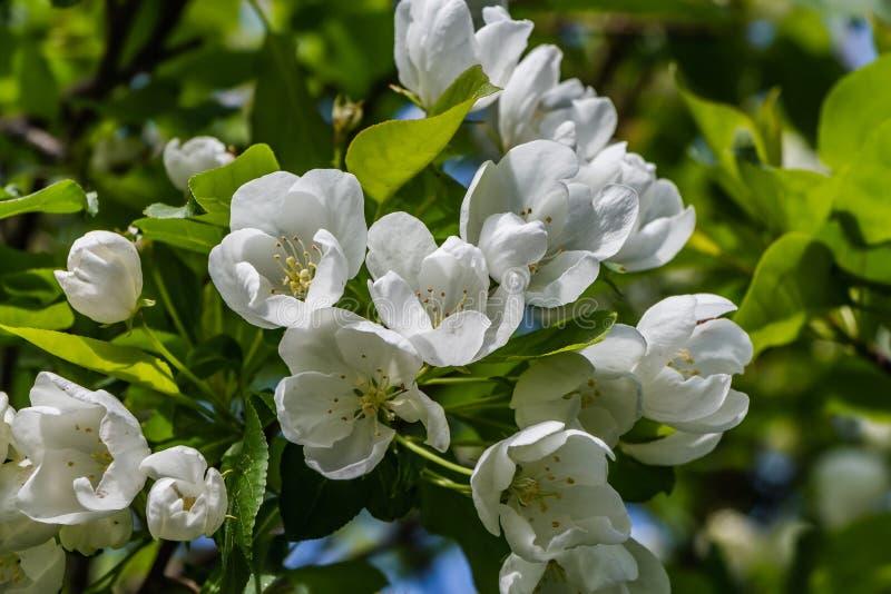 I ramoscelli dell'Apple-albero con le giovani foglie verdi ed i fiori bianchi su un fondo verde vago in primavera in un parco fotografia stock