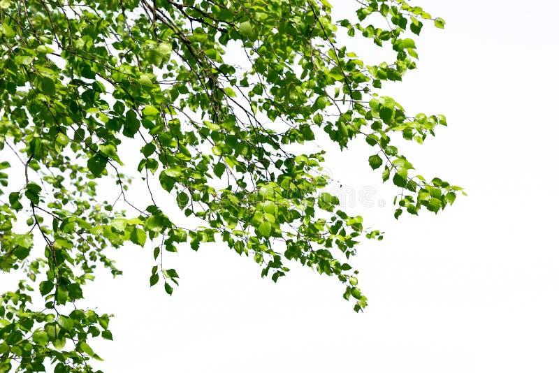 I ramoscelli della betulla con le giovani foglie brillanti verdi appendono giù isolato fotografie stock